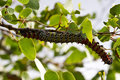 Mopane worm on leaf colourful eat hang green food Stock Photos