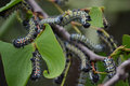 Mopani worms eating. Royalty Free Stock Photo