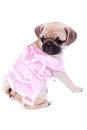 Mops princess looking behind Royalty Free Stock Photo