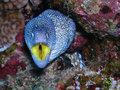 Moray eel Royalty Free Stock Photo