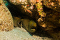 Moray eel baja reefs in the reeefs of cabo pulmo california sur Royalty Free Stock Photo