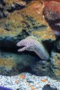 Moray eel eels or muraenidae are a family of cosmopolitan eels Stock Photo