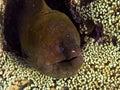 Moray eel gian ready to strick Stock Image