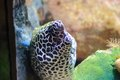 Moray eel the image of the eels or muraenidae Royalty Free Stock Photography