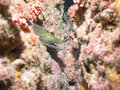 Moray eel sea of cortez baja california scuba diving in the mexico Stock Image