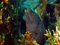 Moray eels at the hole Royalty Free Stock Image