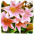 More backyard beauties pink cluster daylilies Stock Photos