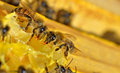 More bees on a honeycell macro Stock Photography