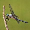 More to go dragonfly that is not at the top of a branch Stock Photography
