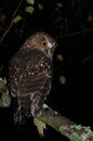 Morepork new zealand native owl the ninox novaeseelandiae west coast south island Royalty Free Stock Image