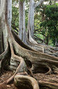 Moreton Bay Fig tree roots Royalty Free Stock Photo