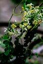 Moringa Oleifera Tree Flower White Flower
