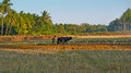Morjim goa india circa december the young man ploughin ploughing rice field traditional way on buffalo Stock Images