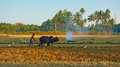 Morjim goa india circa december the young man ploughin ploughing rice field traditional way on buffalo Royalty Free Stock Images