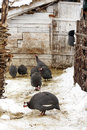 Morka Turkeys in farmyard wintertime Stock Image