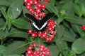 Mormon sailing ship (papilio polytes) on red flowers Royalty Free Stock Photos