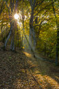Morning in a beech forest ukraine Royalty Free Stock Image