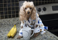 Morning coffee in the kitchen a poodle a bathrobe has her on counter Royalty Free Stock Photo