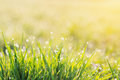 Morning dew drops on blades of green grass, sunrise Royalty Free Stock Photo
