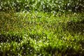 dew drops on fresh green grass in spring Royalty Free Stock Photo
