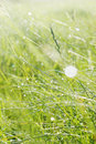 Morning dew grass of the field in the Royalty Free Stock Images