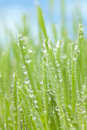 Morning dew on grass a soft focus image of water drops Royalty Free Stock Photography