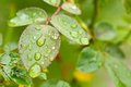Morning dew on leafs green Royalty Free Stock Image