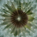 Centered seed in dandelion Royalty Free Stock Photo