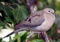 Morning Dove Royalty Free Stock Images