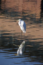Morning egret reflection bright spring portrait of an american standing in a freshwater pond Stock Images