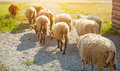 In the morning a flock of sheep out of corral for the cattle in the pasture. Royalty Free Stock Photo