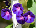 Morning Glories Royalty Free Stock Photo