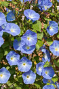 Morning Glory blooms Stock Images