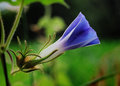Morning glory bud Stock Photography