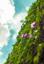 Morning glory climb up a wall Royalty Free Stock Photo