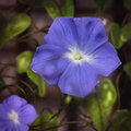 Morning Glory - Digital Painting Stock Images