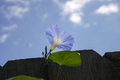 Morning glory on fence this is a blue growing against a wooden there is a light blue bloom reaching above the Royalty Free Stock Photos