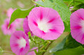 Morning glory flower in the garden Royalty Free Stock Photos