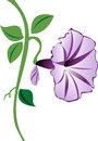 Morning Glory Flower in Purple Stock Photos