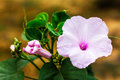 Morning Glory Flower Purple. Royalty Free Stock Photo