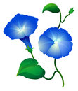 Morning glory flowers in blue color Royalty Free Stock Photo