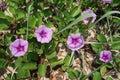 Morning glory flowers on the coast Royalty Free Stock Photos
