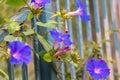 Morning Glory Flowers Royalty Free Stock Photo