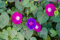 Morning glory flowers plants with Royalty Free Stock Photo