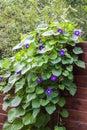Morning Glory Ipomoea flowers twine upward wooden fence Royalty Free Stock Photo