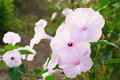 Morning Glory Tree or Ipomoea carnea flowers Royalty Free Stock Photo
