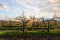 Morning landscape in orchard Royalty Free Stock Photo