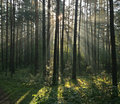 Morning light beams in forest Royalty Free Stock Photo