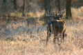 Morning light on whitetail buck with odd rack first shining Royalty Free Stock Photo