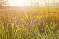 Morning meadow with purple flowers sun Royalty Free Stock Photos